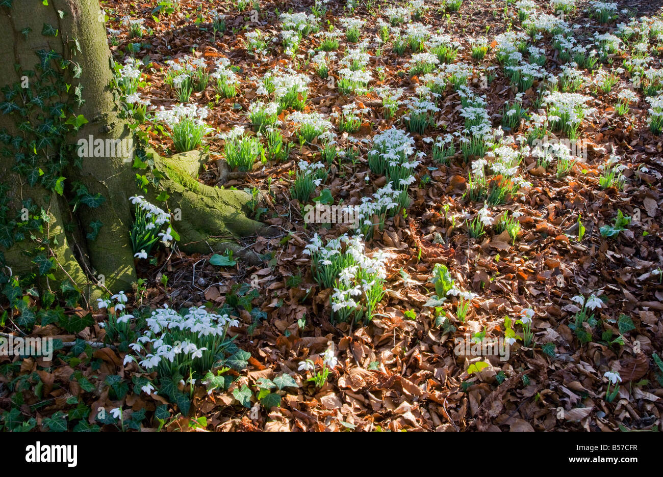 Snowdrops, Galanthus nivalis, growing at the base of a tree in woodland in late winter, early spring, - Stock Image