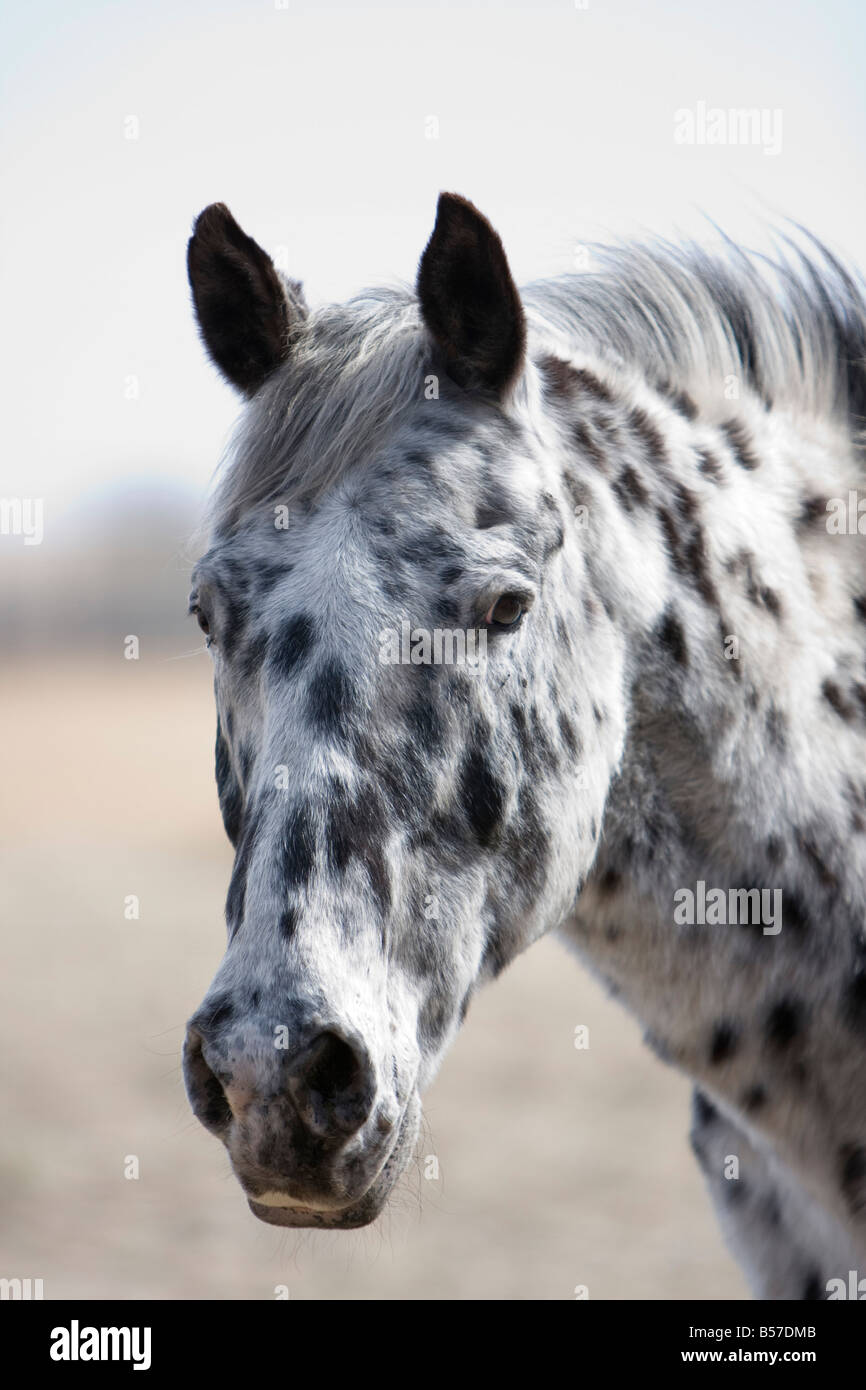 Headshot Of Black And White Spotted Appaloosa Horse Gazing Off Into Stock Photo Alamy