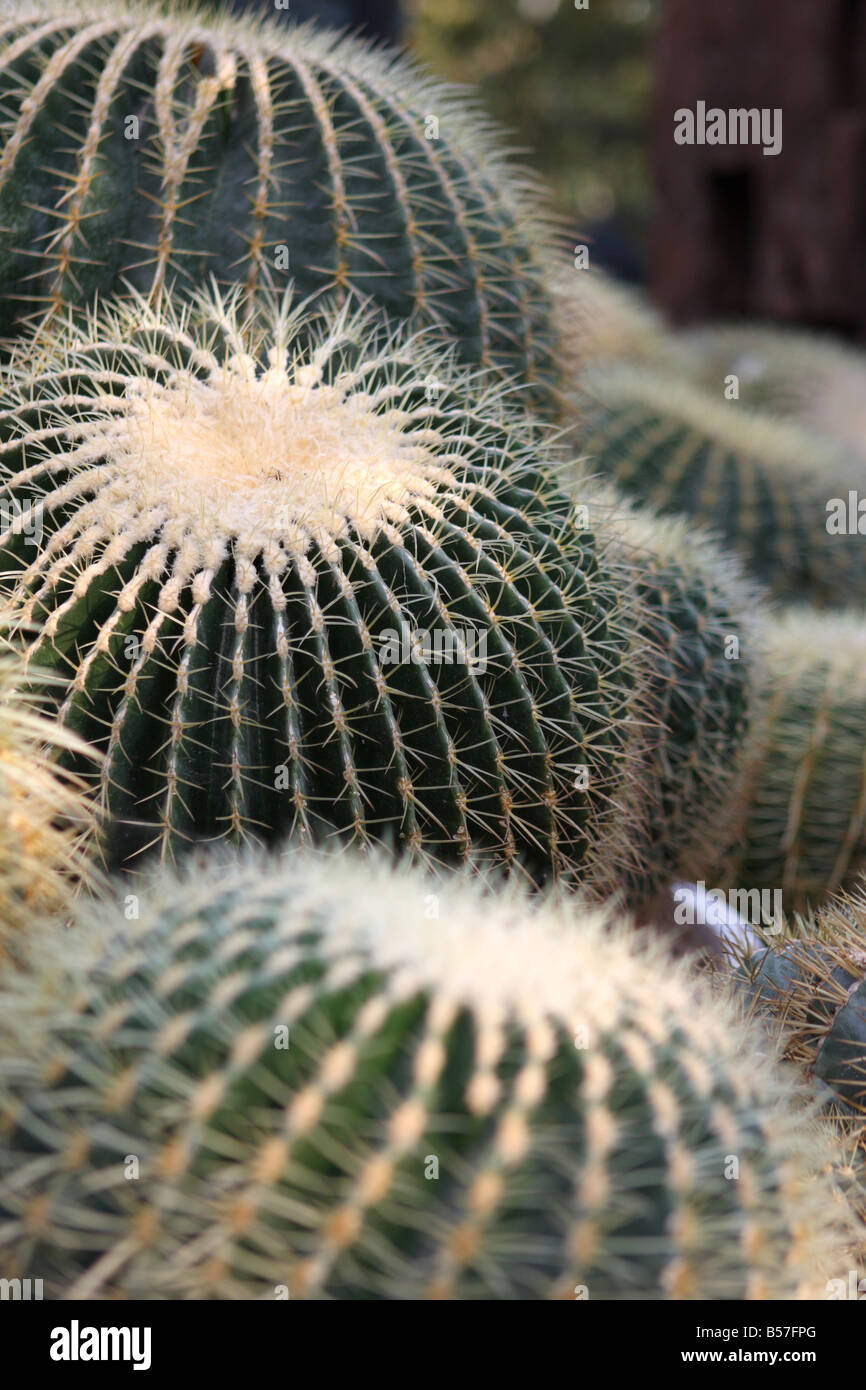 cactus plant thorns - Stock Image