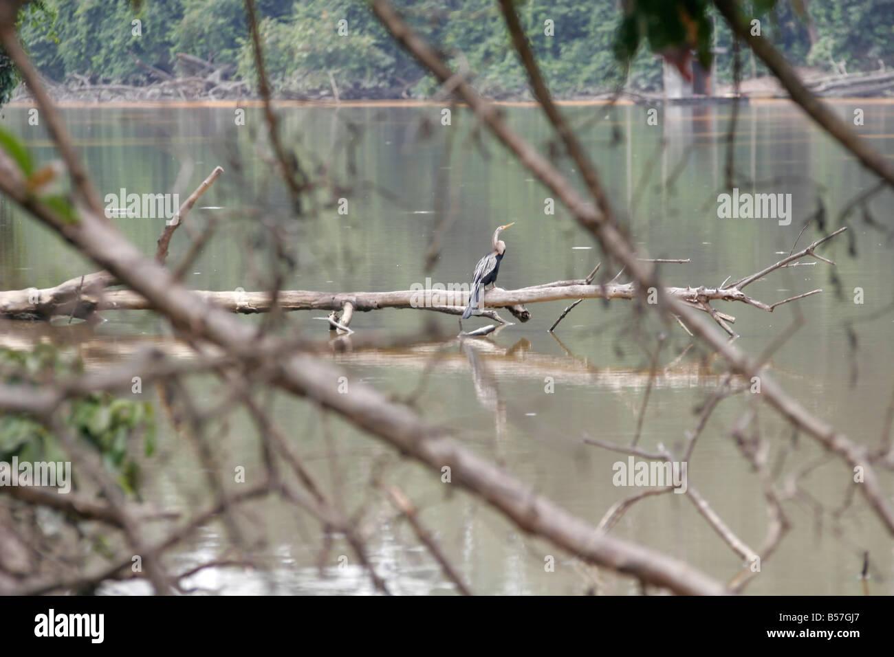 Oriental darter on the lake, Kinabatangan, Sabah, Borneo, Malaysia - Stock Image