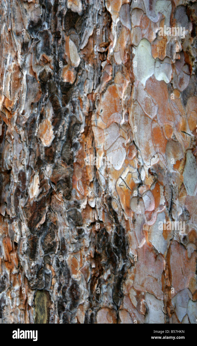 European Black Pine Bark, Pinus nigra, Pinaceae, Central and Southern Europe and West Asia Stock Photo