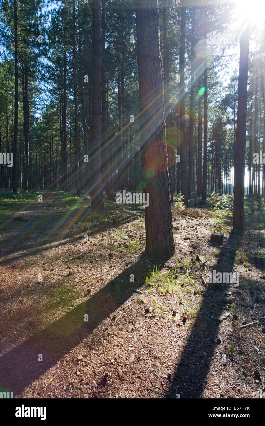Forest of pine trees in the New Forest - Stock Image