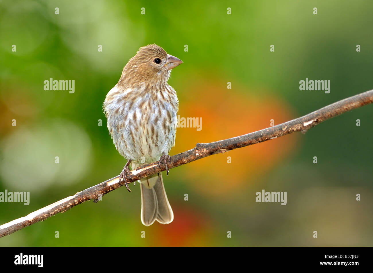 A female House Finch, Carpodacus mexicanus, perches on a bare branch against a colorful background. Oklahoma, USA. - Stock Image