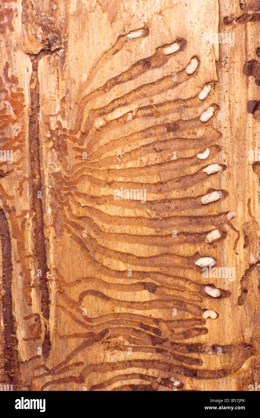 Engraver Beetle (Ips typographus). Typical gallery pattern of main tunnel with side galleries - Stock Image