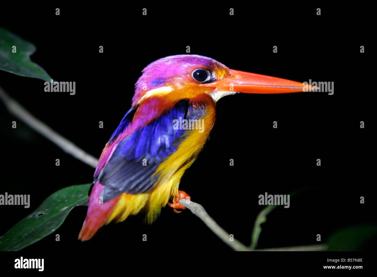 Kingfisher bird by night, Kinabatangan river, Sabah, Borneo, Malaysia, South East Asia - Stock Image