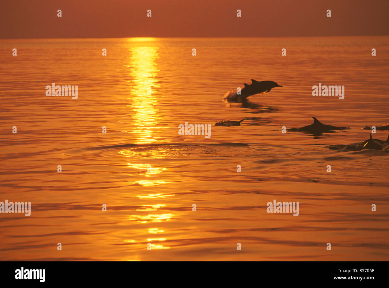 Dolphins swimming at sunset, Maldives, Indian Ocean, Asia - Stock Image