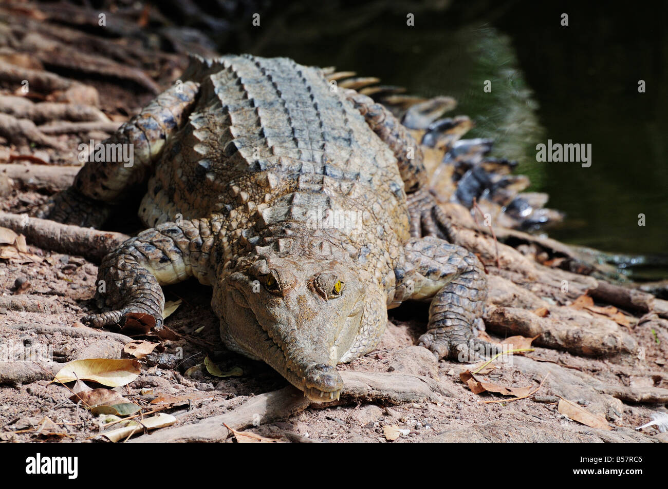 Saltwater crocodile, Northern Territory, Australia, Pacific - Stock Image