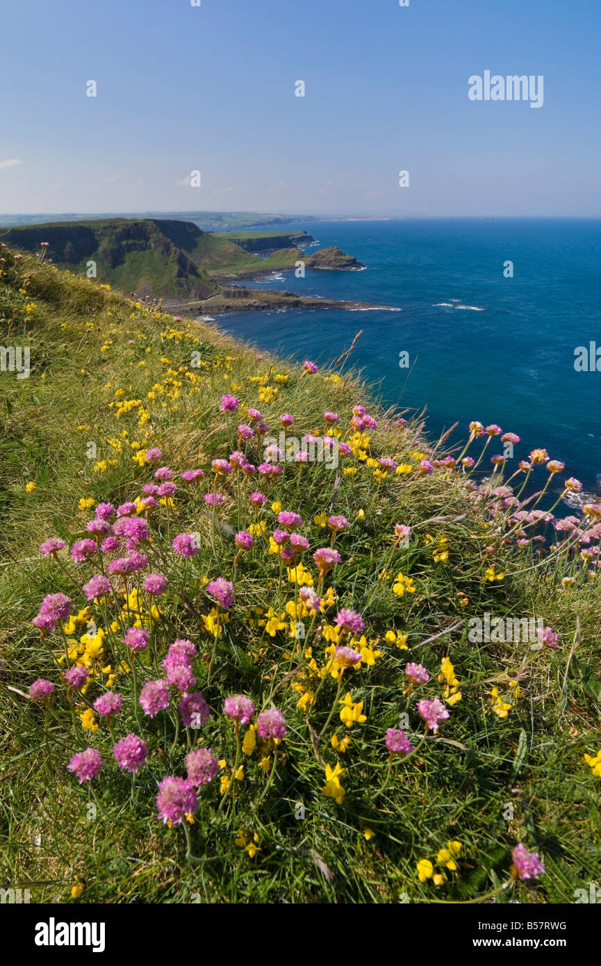 Pink sea thrift on cliff top, North Antrim coast path to the Giant's Causeway, County Antrim, Ulster, Northern Ireland Stock Photo