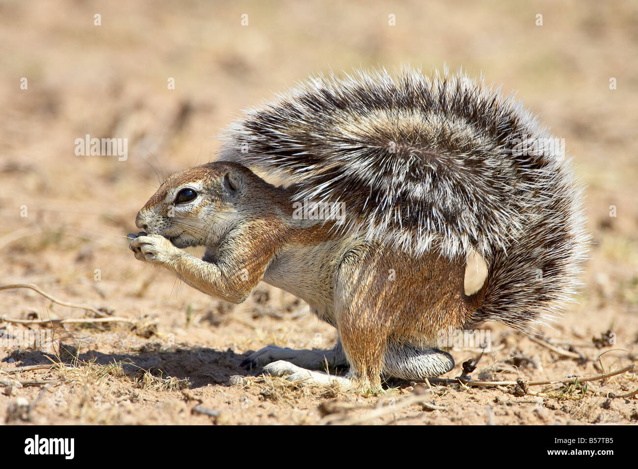 Male Squirrel Stock Photos & Male Squirrel Stock Images - Alamy
