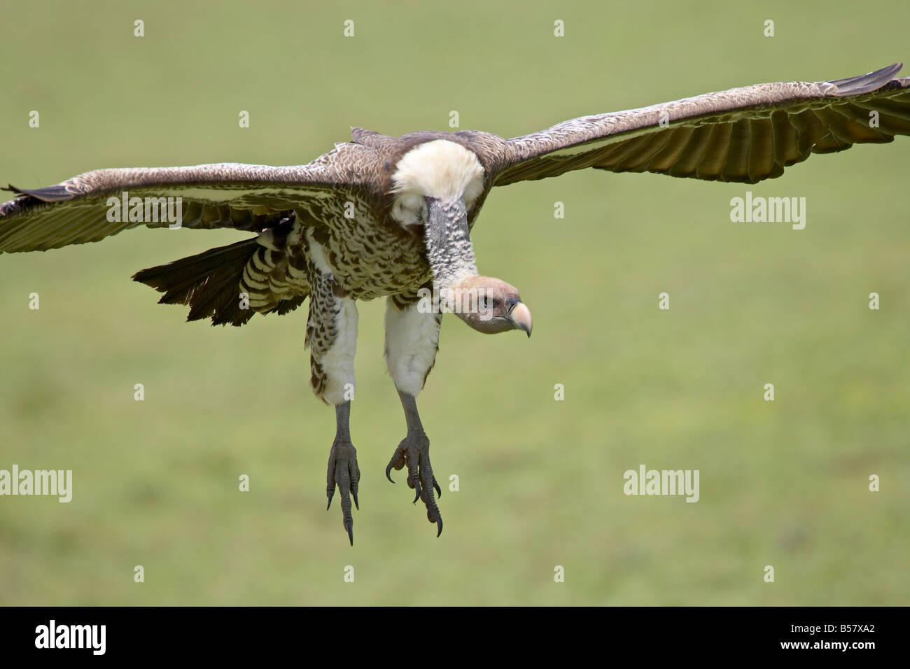 Ruppell's griffon vulture (Gyps rueppellii) on final approach, Serengeti National Park, Tanzania, East Africa, - Stock Image