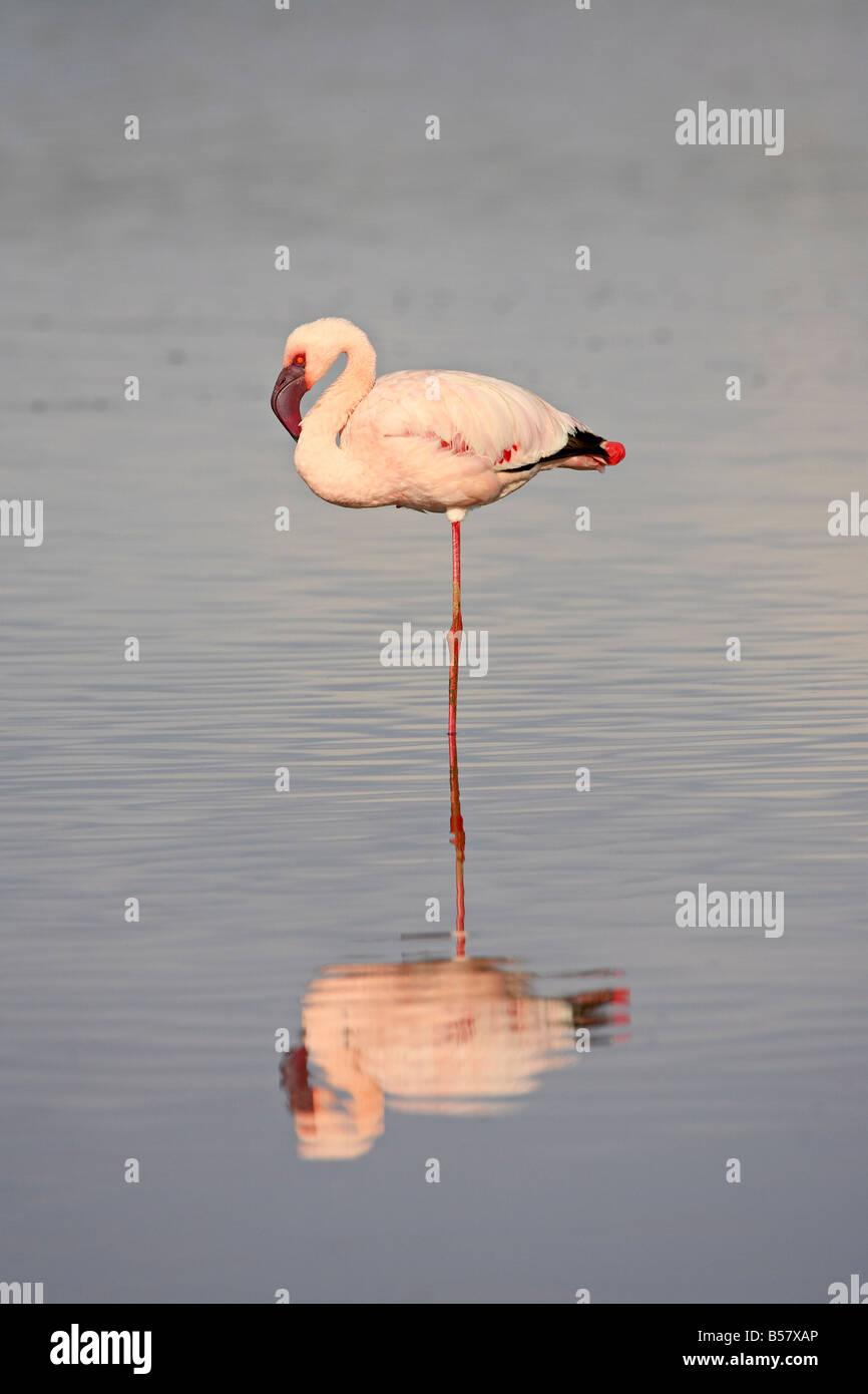 Lesser flamingo (Phoeniconaias minor), Serengeti National Park, Tanzania, East Africa, Africa Stock Photo