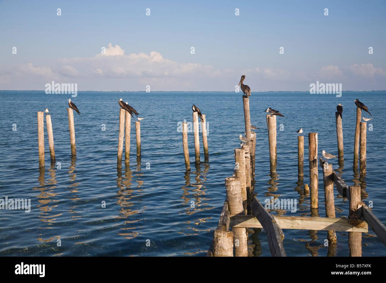 Birds on jetty posts Caye Caulker Belize Central America - Stock Image