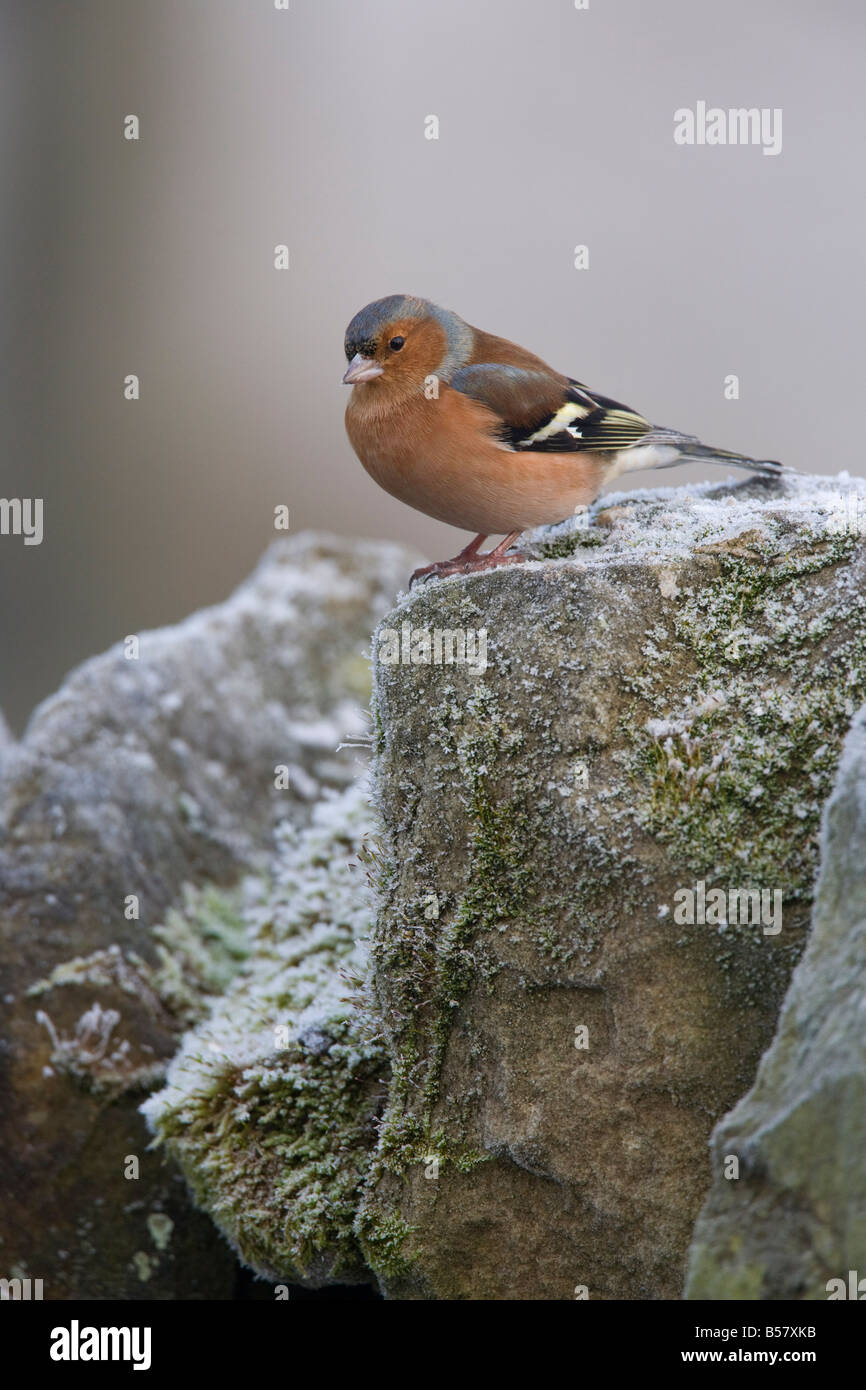 Male chaffinch (Fringilla coelebs), on stone wall, United Kingdom, Europe - Stock Image