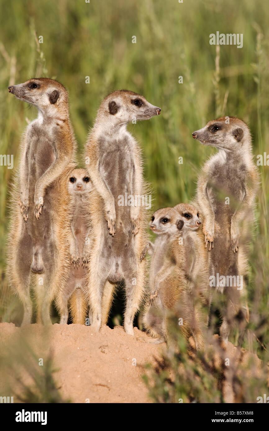 Meerkats (Suricata suricatta) with young, Kalahari Meerkat Project, Van Zylsrus, Northern Cape, South Africa, Africa - Stock Image