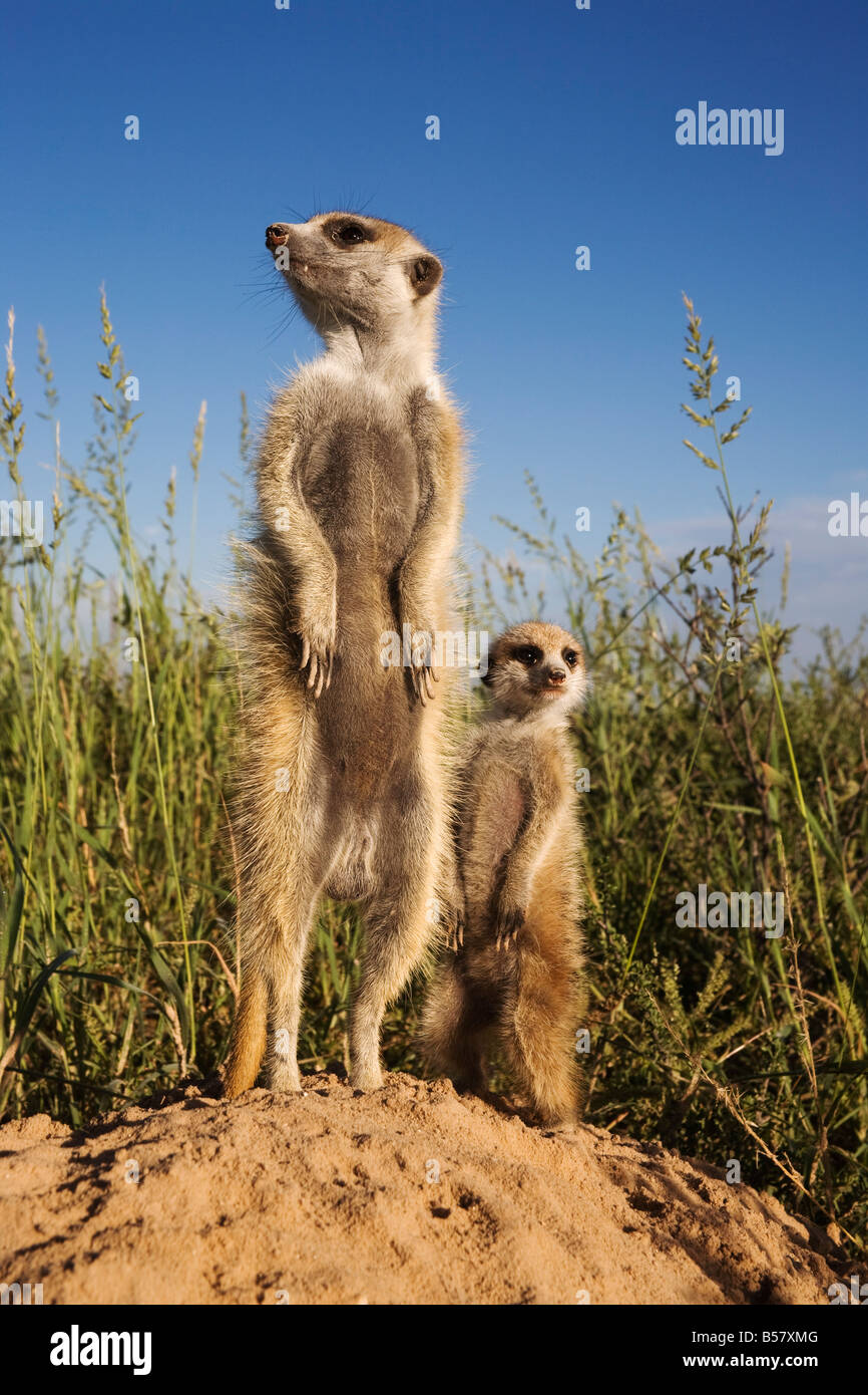 Meerkat (Suricata suricatta) with young, Kalahari Meerkat Project, Van Zylsrus, Northern Cape, South Africa, Africa - Stock Image