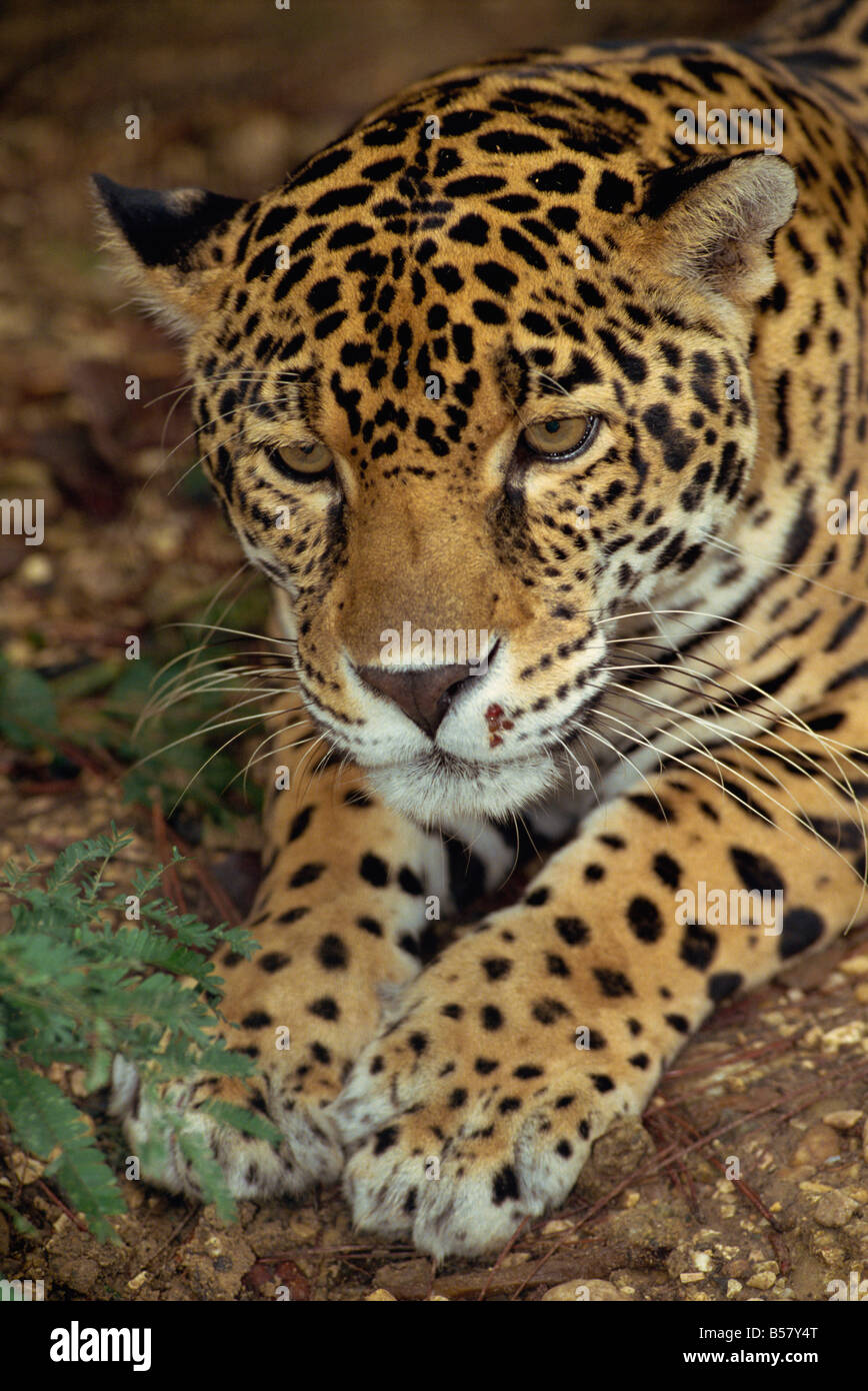 Jaguar, Belize, Central America - Stock Image