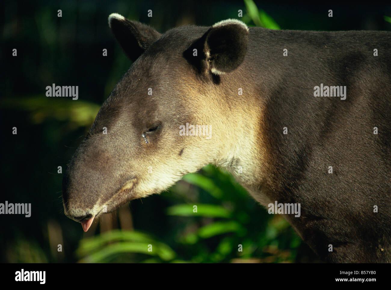 Baird's tapir, Belize, Central America - Stock Image