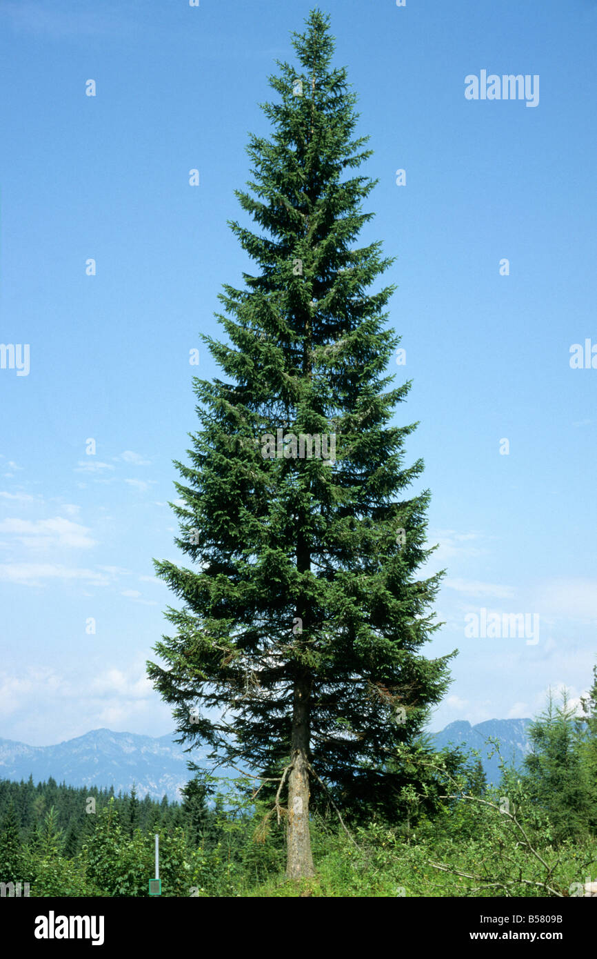 Common Silver Fir (Abies alba), a freestanding example - Stock Image