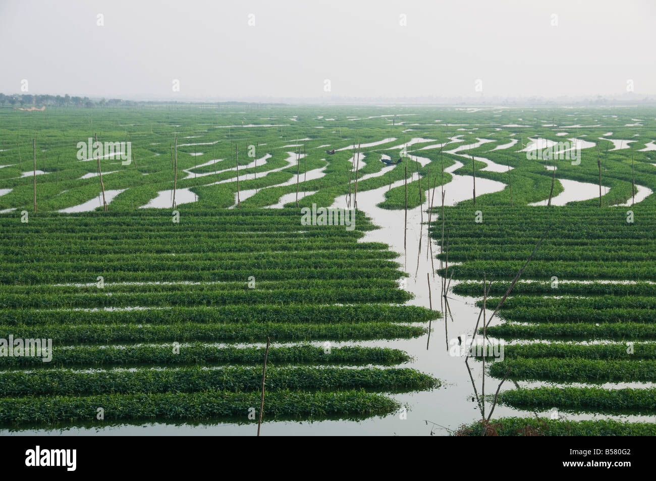 Morning glory grown for food, Phnom Penh, Cambodia, Indochina, Southeast Asia, Asia - Stock Image
