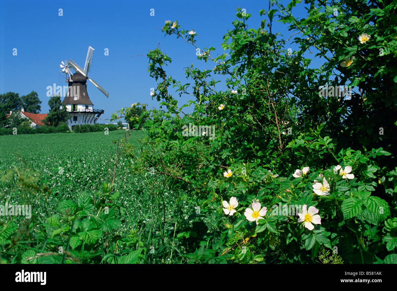 Summer flowers in hedge with the Egeskov Windmill behind, Funen, Denmark, Scandinavia, Europe - Stock Image