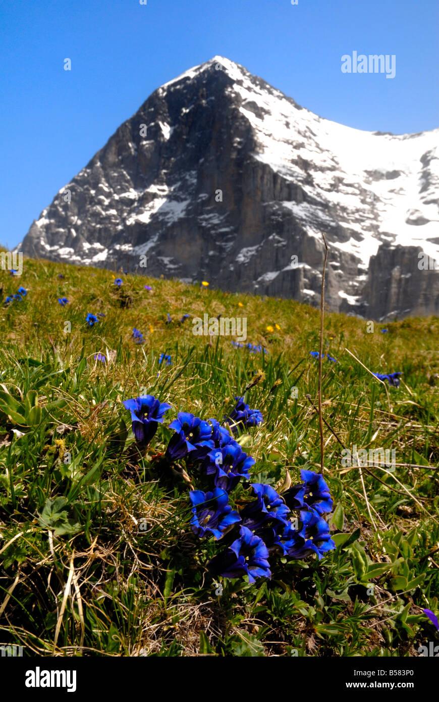 Gentians, Alpine flowers in front of the Eiger, Kleine Scheidegg, Bernese Oberland, Swiss Alps, Switzerland, Europe - Stock Image