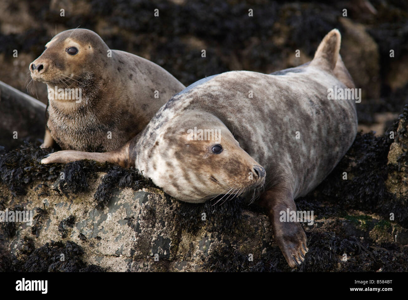 Grey seals (Halichoerus grypus), Farne Islands, Seahouses, Northumberland, England, United Kingdom, Europe - Stock Image