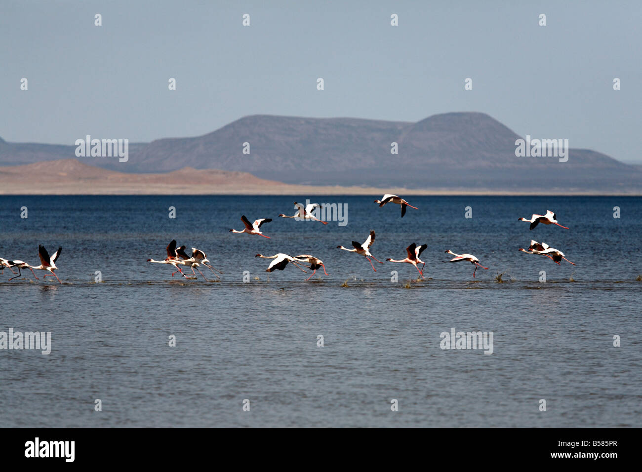 Flamingos taking off from Lac Abbe, Djibouti, Africa - Stock Image