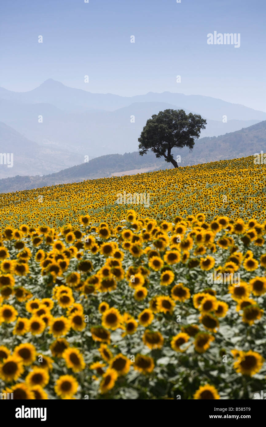 Sunflowers, near Ronda, Andalucia (Andalusia), Spain, Europe - Stock Image