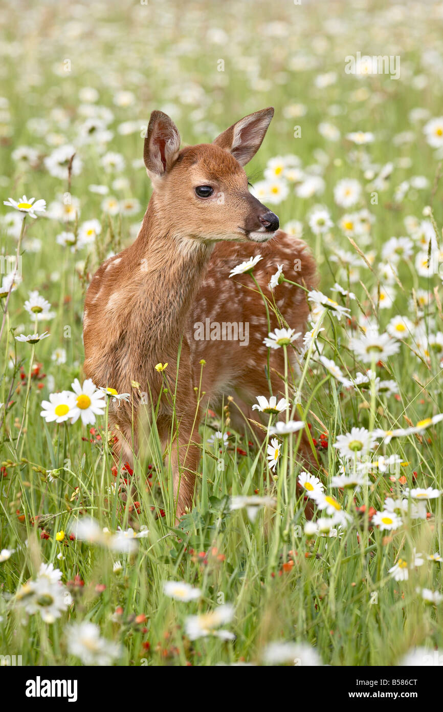 Whitetail deer (Odocoileus virginianus) fawn among oxeye daisy, in captivity, Sandstone, Minnesota, United States - Stock Image
