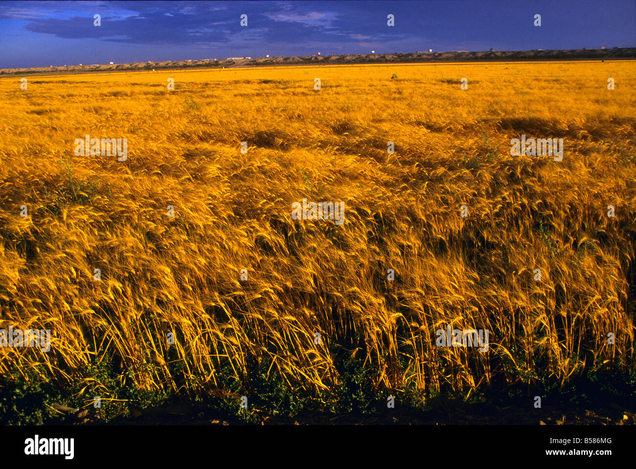 Ripe wheat in an irrigated field blows in the wind in the late afternoon, Arizona, USA - Stock Image