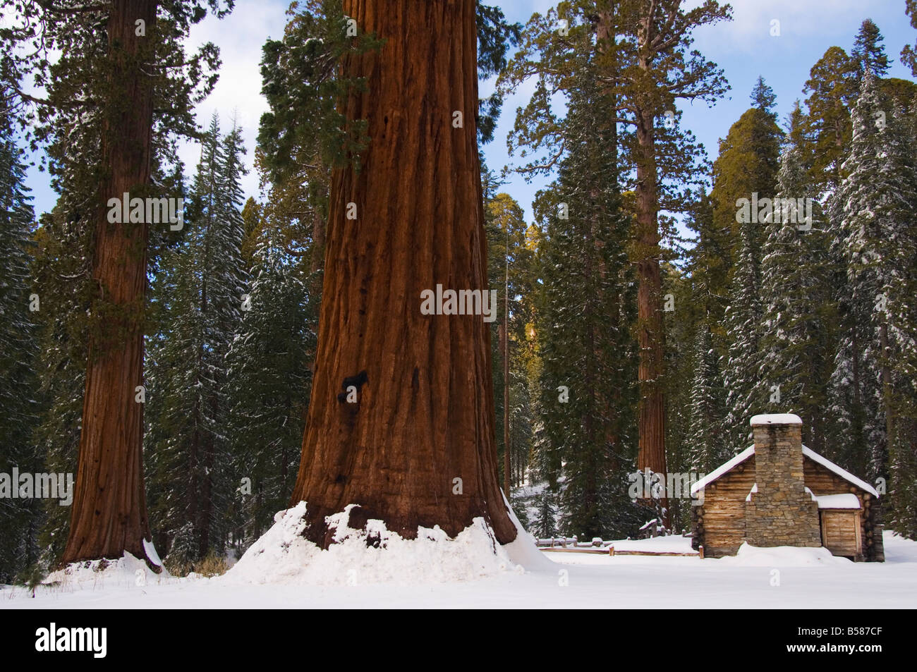 Stone brick museum dwarfed by giant sequoia trees at Mariposa Grove after fresh snowfall Yosemite National Park - Stock Image