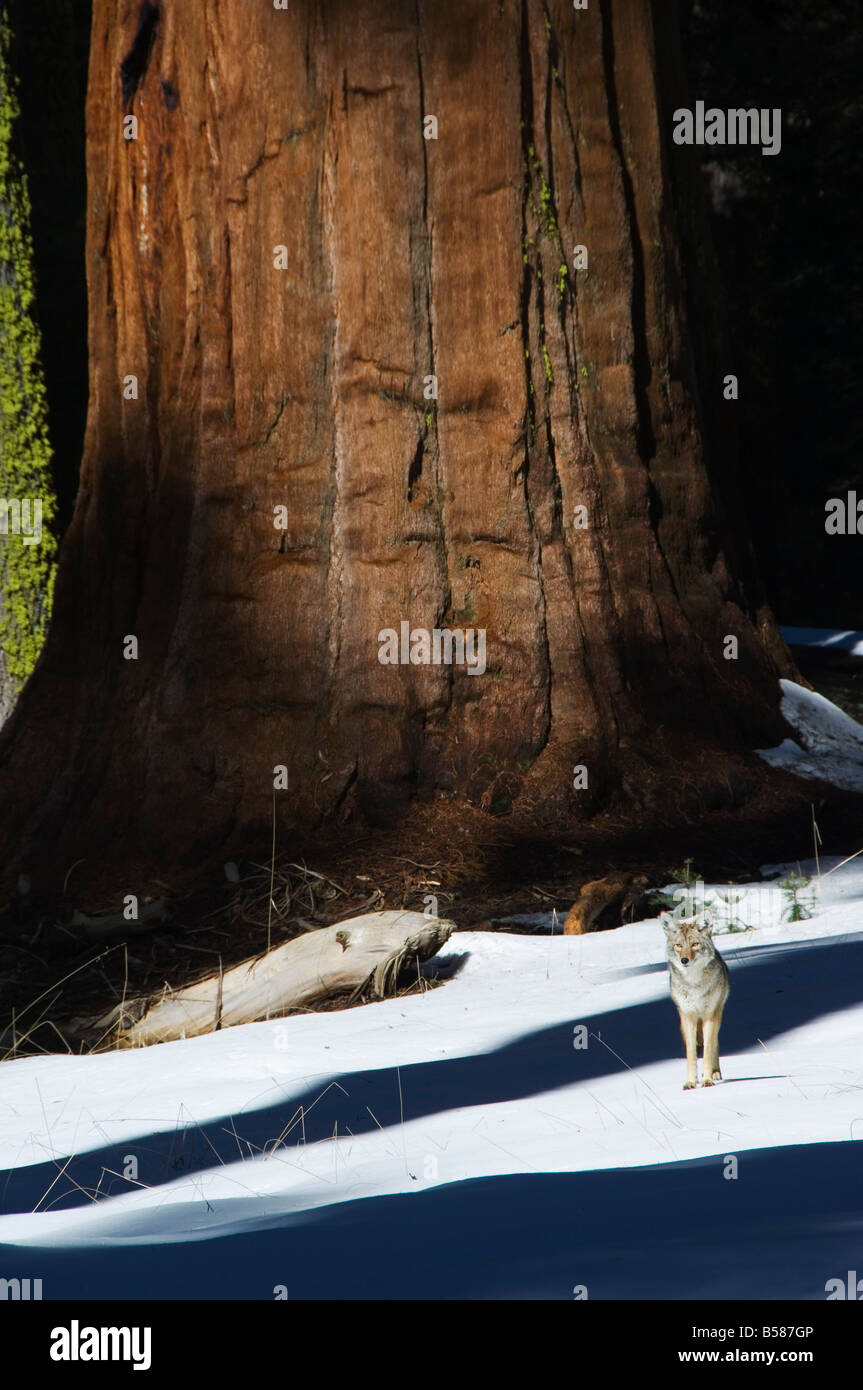 A coyote is dwarfed by a tall sequoia tree trunk in Sequoia National Park, California, United States of America, - Stock Image