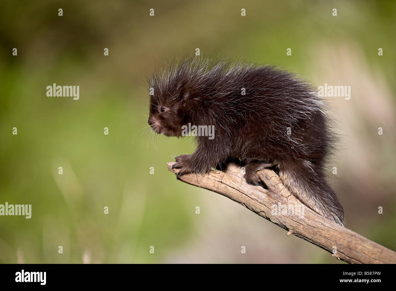 A captive baby porcupine (Erethizon dorsatum), Animals of Montana, Bozeman, Montana, United States of America, North Stock Photo