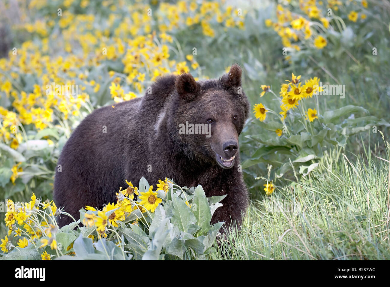 Young grizzly bear, a year and a half old, in captivity, among arrowleaf balsam root, Bozeman, Montana - Stock Image