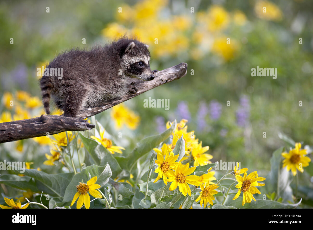 Baby raccoon (Procyon lotor) in captivity, Animals of Montana, Bozeman, Montana, United States of America, North - Stock Image