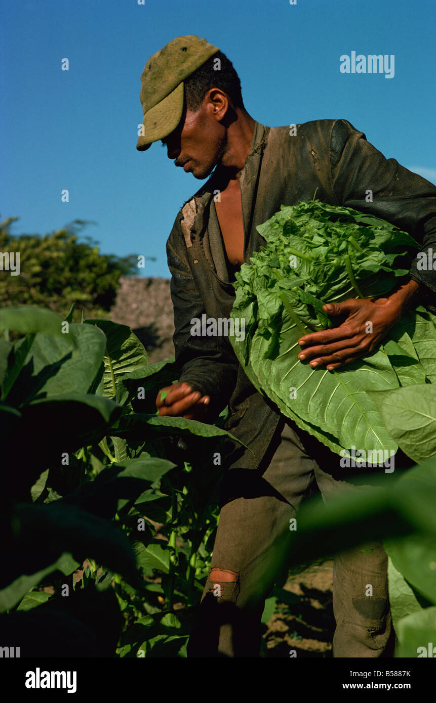 Picking tobacco, Santiago, Dominican Republic, West Indies, Central America - Stock Image