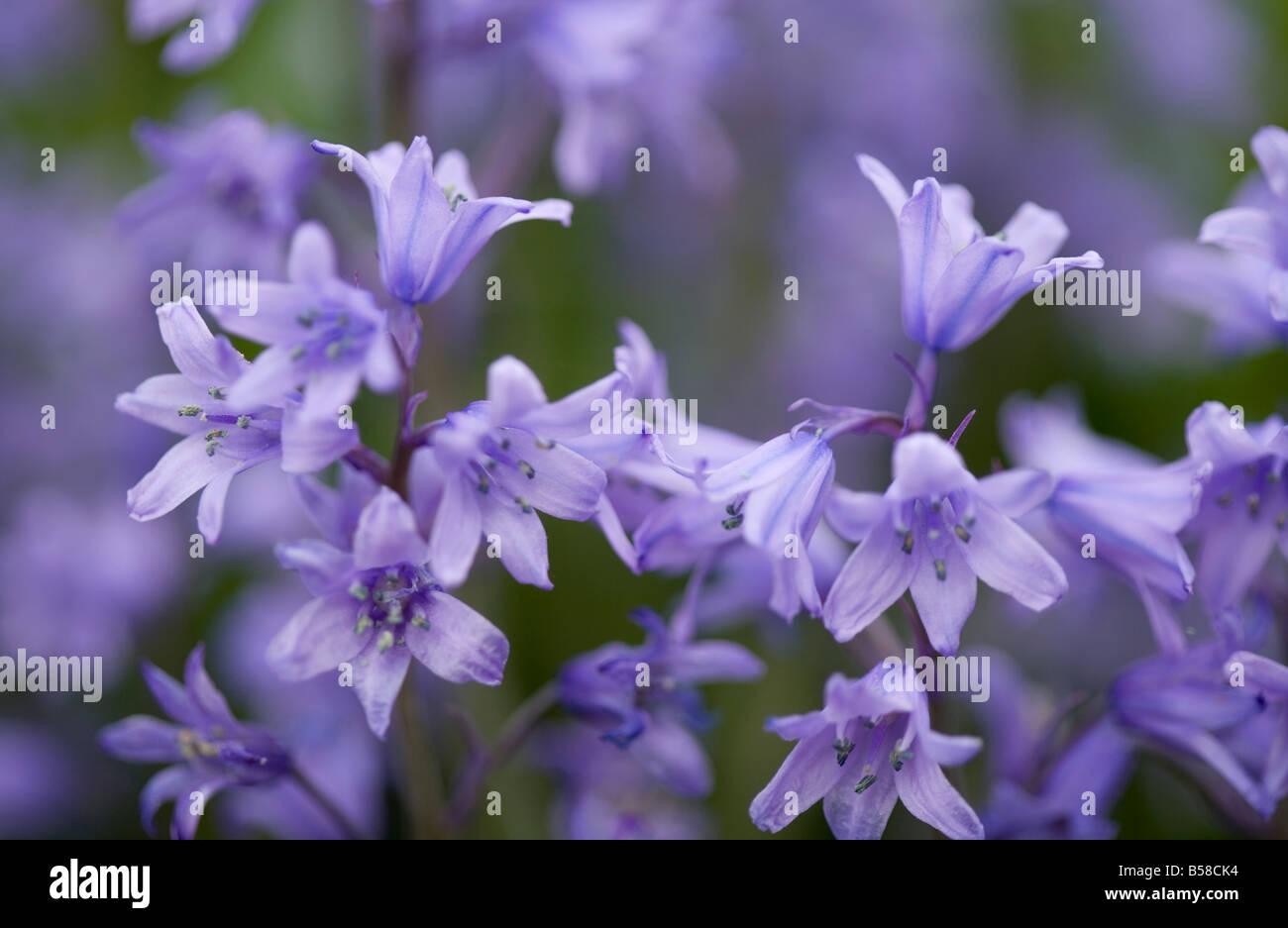 Close-up of Spanish bluebell Hyacinthoides hispanica or Endymion hispanicus hybrid Stock Photo