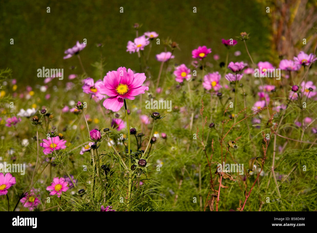 Tall Pink Flower Stock Photos Tall Pink Flower Stock Images Alamy