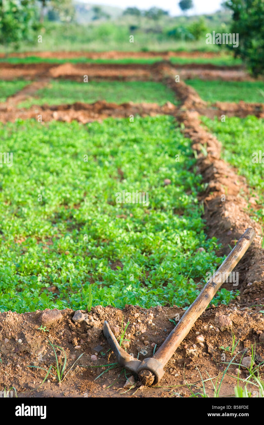 Growing herbs (coriander) in the Indian countryside  Rural