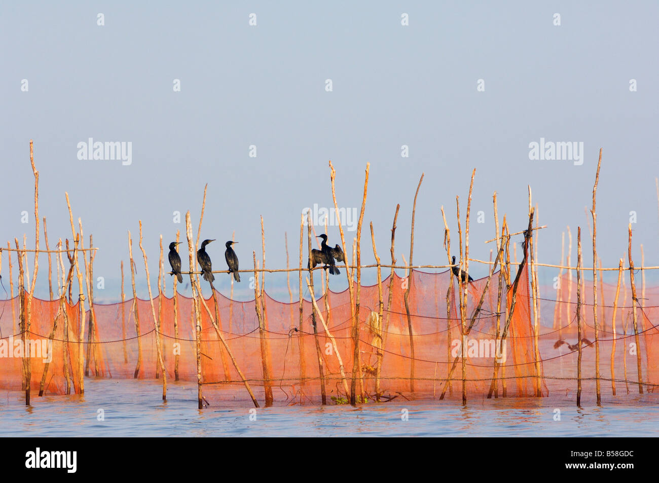 Cormorants and fishing nets, Tonle Sap Lake, Siem Reap, Cambodia, Indochina, Southeast Asia - Stock Image