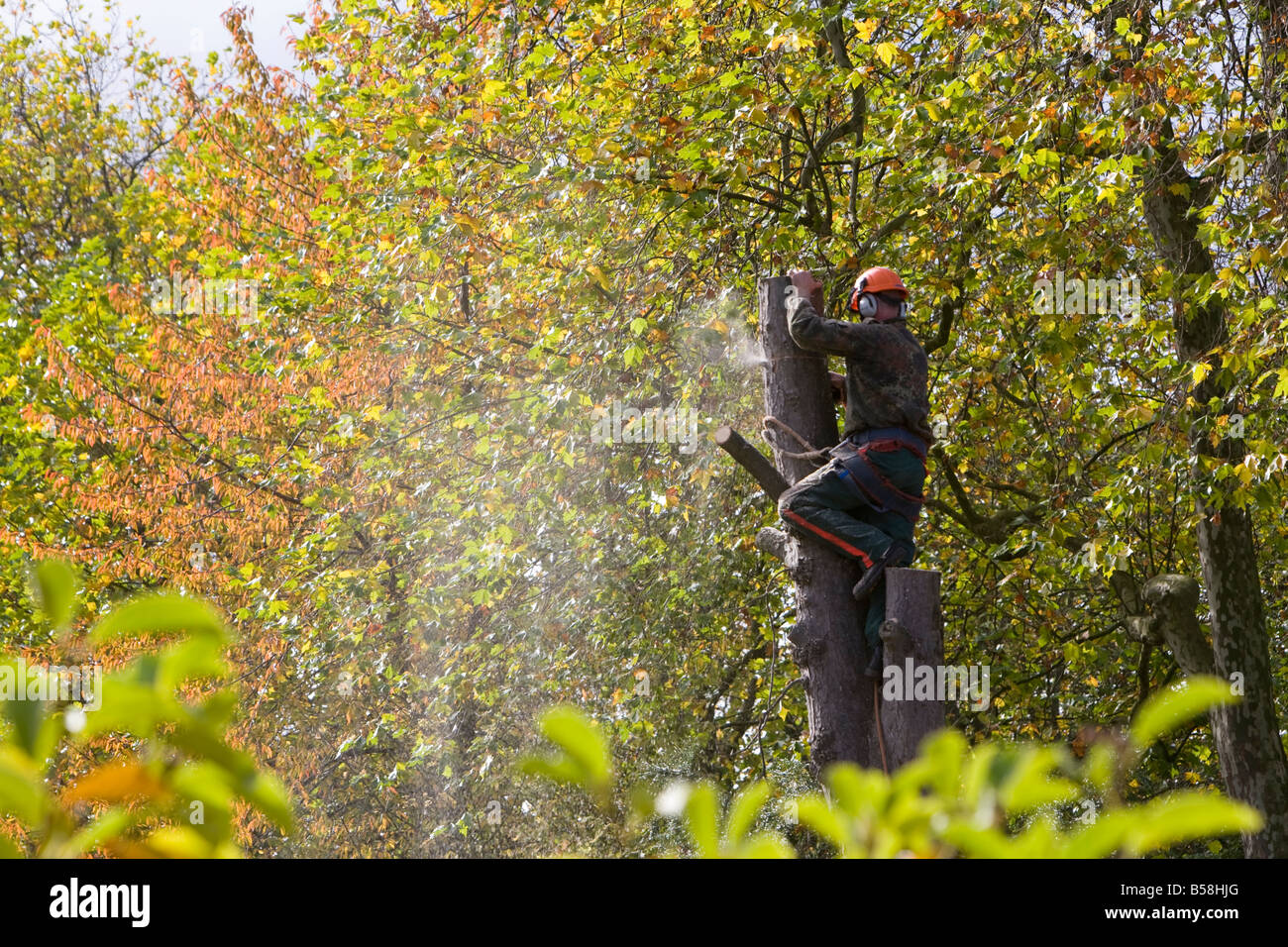 A tree surgeon cutting down a dead sycamore tree UK autumn - Stock Image