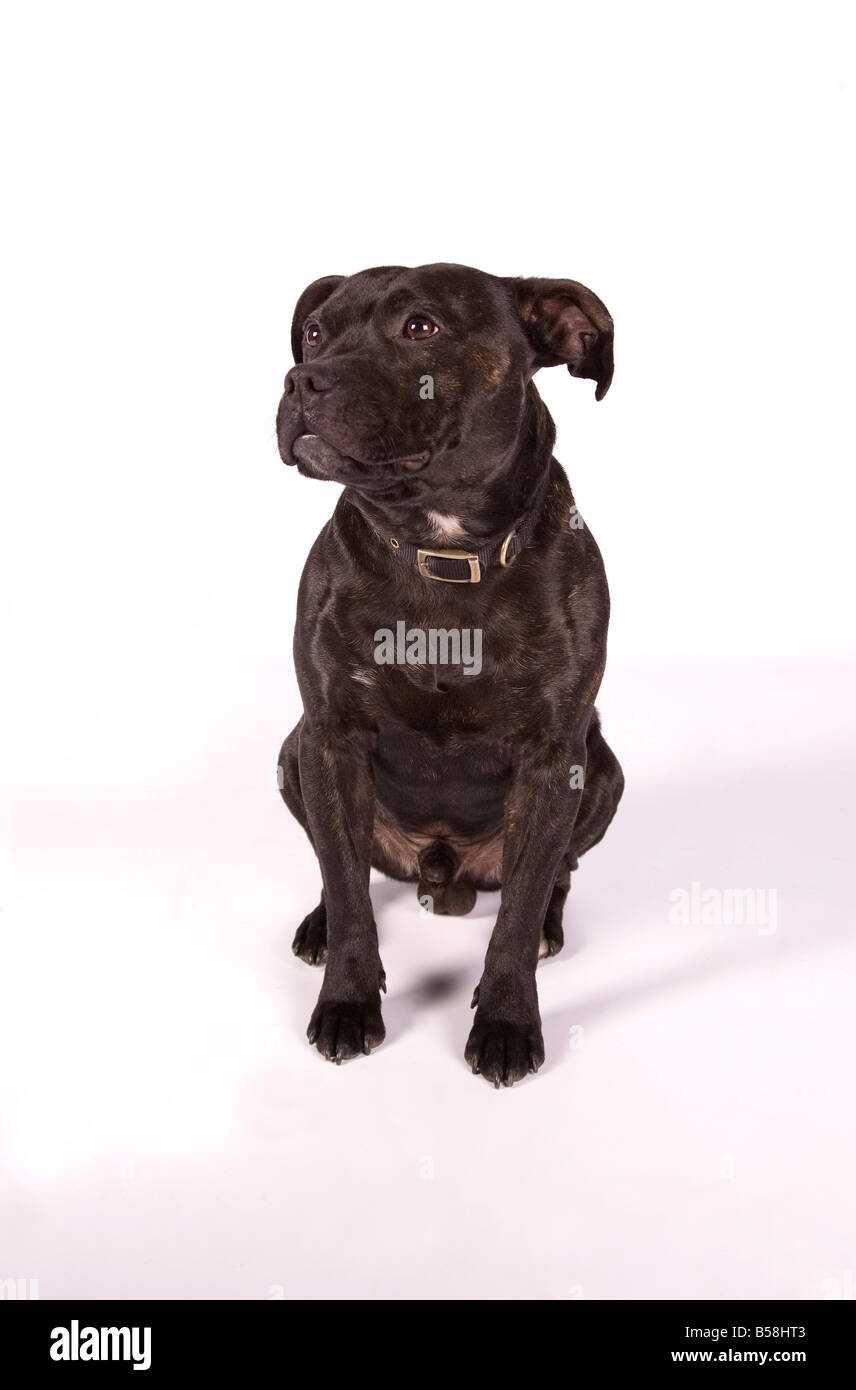 staffordshire bull terrier buster sitting - Stock Image
