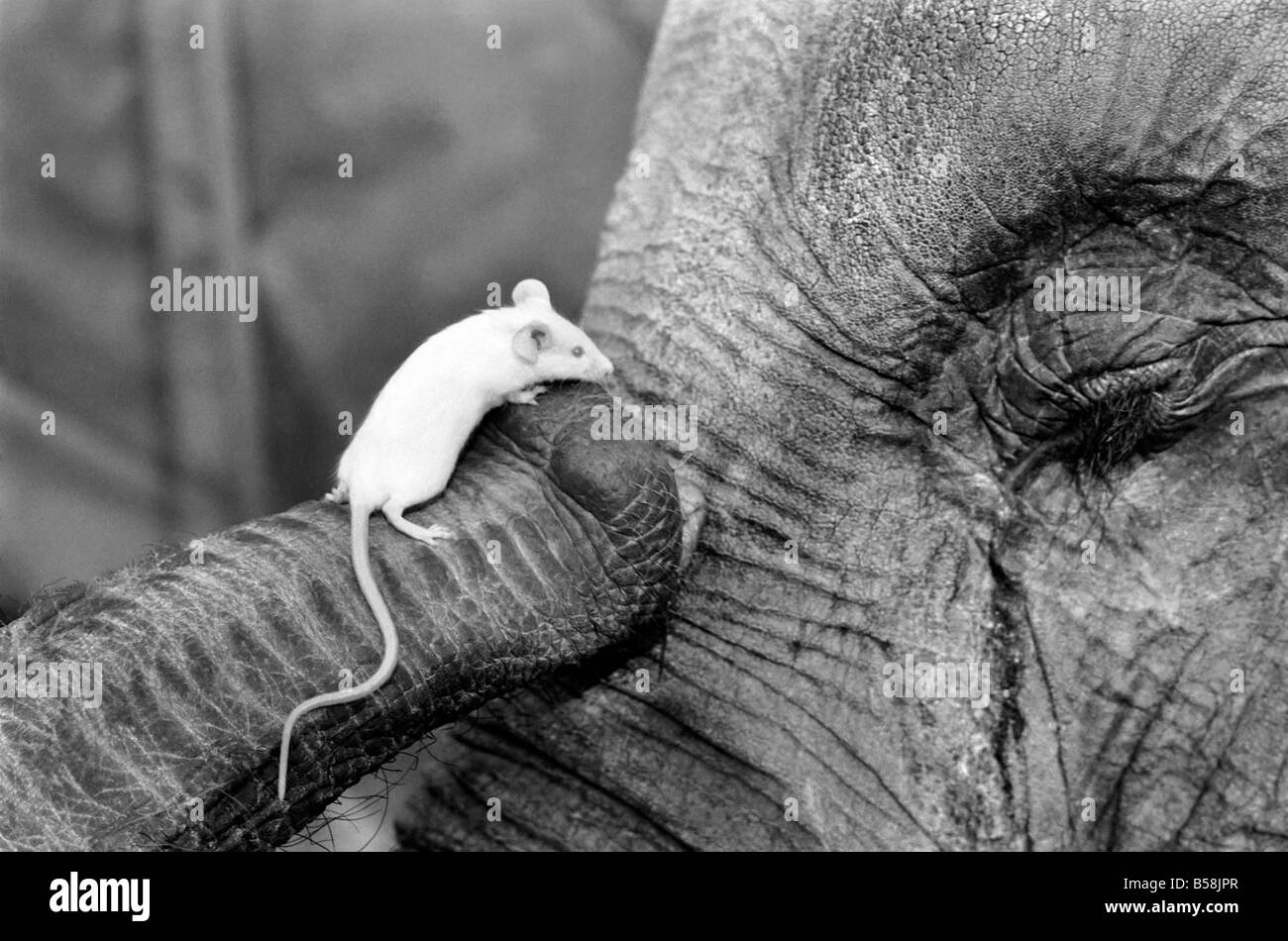 Elephant and Mouse: Mighty Mary seems quite at home in Ranee's trunk. March 1975 75-01199-001 - Stock Image