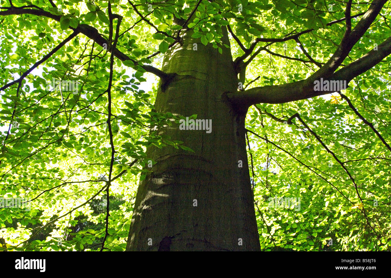 Close-up of a beech tree from below - Stock Image
