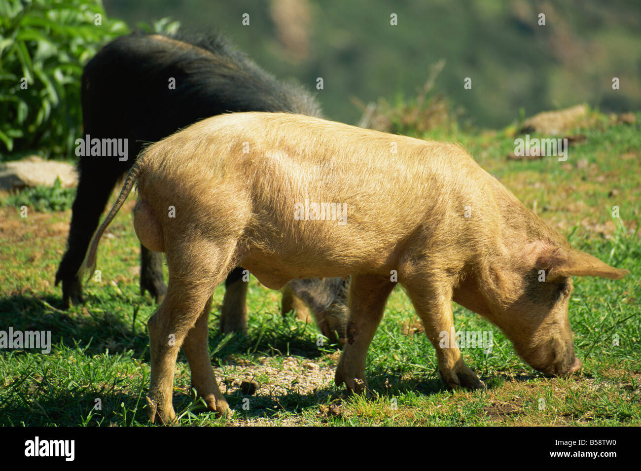 Wild boar, Corsica, France, Europe - Stock Image