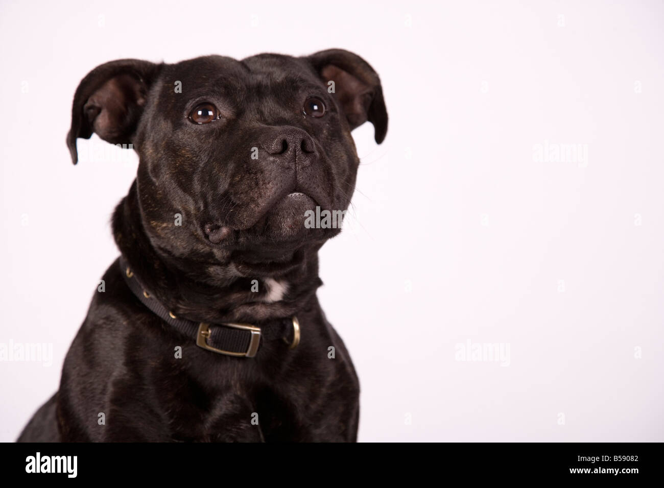 close-up staffordshire bull terrier buster head shot - Stock Image