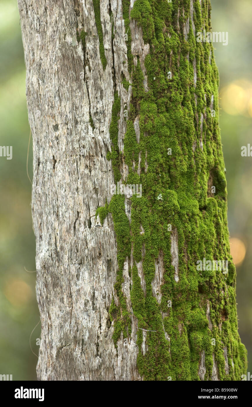 moss growing on the North Side of a tree - Stock Image