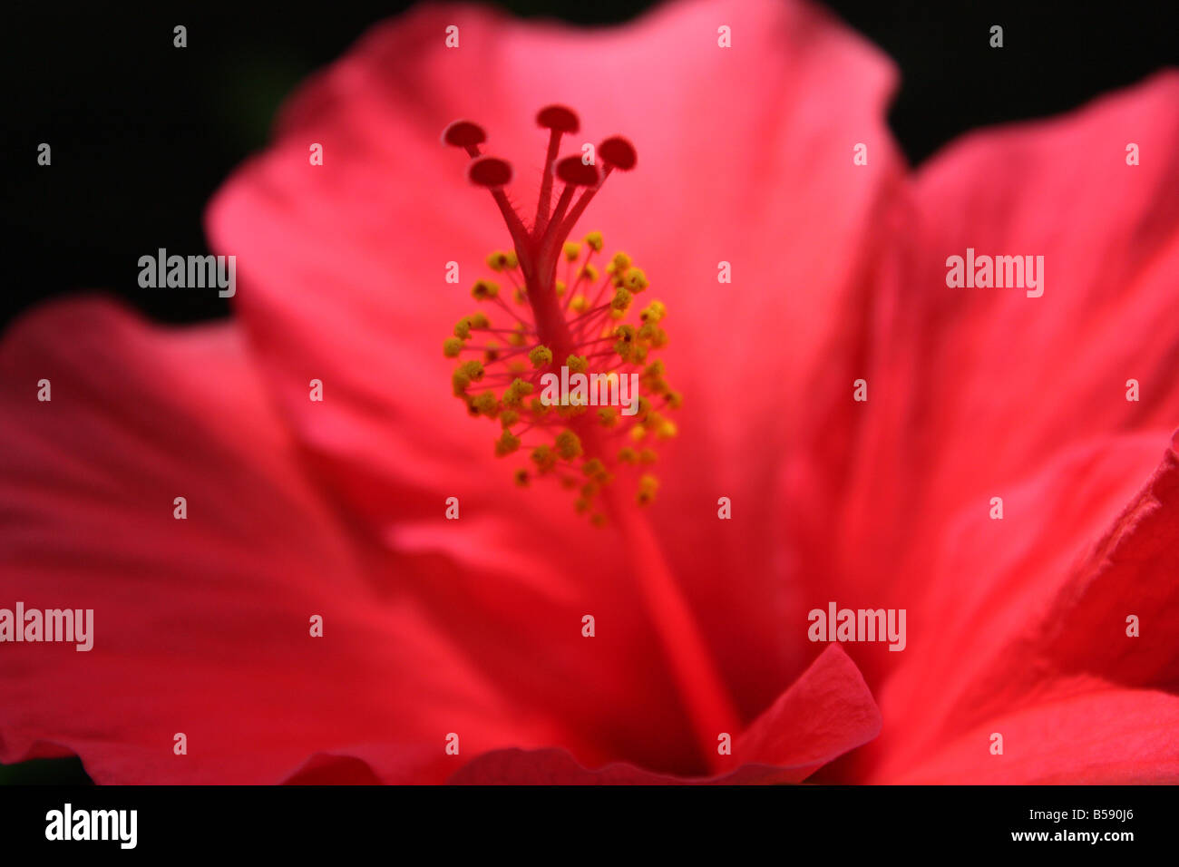 USA. A tropical red hibiscus is captured in the afternoon. - Stock Image