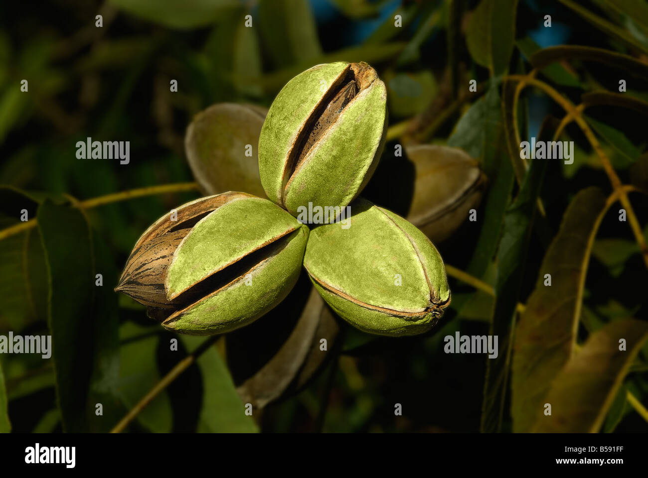 The pecan Carya illinoinensis or illinoensis is a species of hickory tree. - Stock Image
