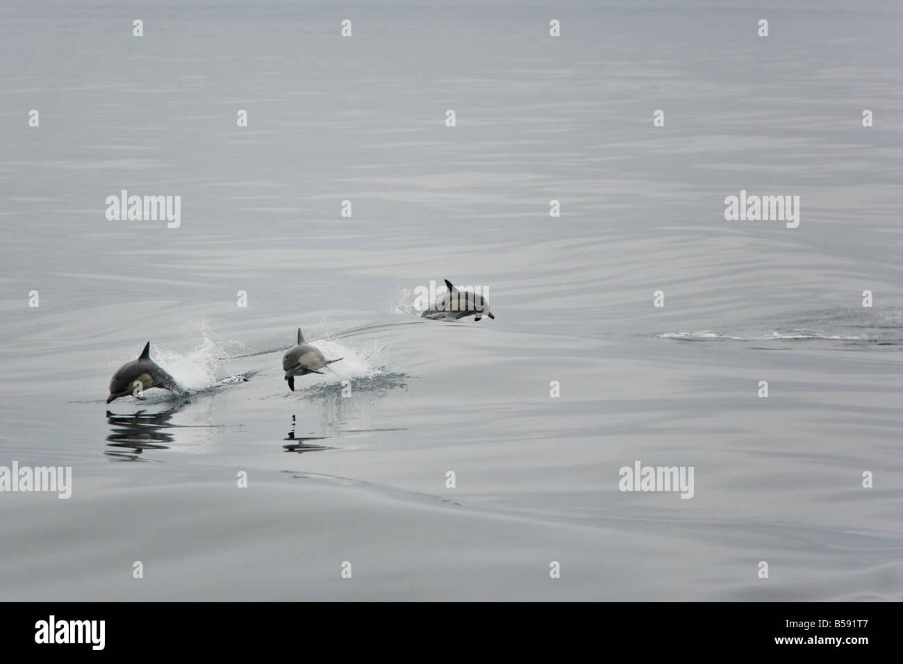 Common dolphins breaching near the coast of Ventura CA - Stock Image